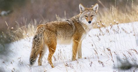 What to do when coyotes are seen in your community | The