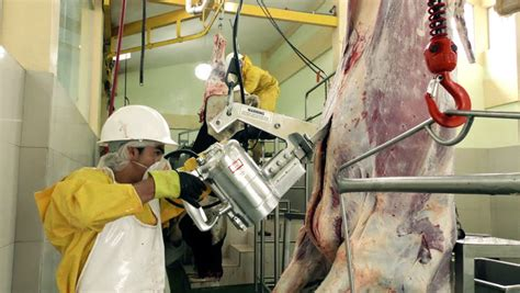 Cattle Carcass Brisket Opening Saw Stock Footage Video