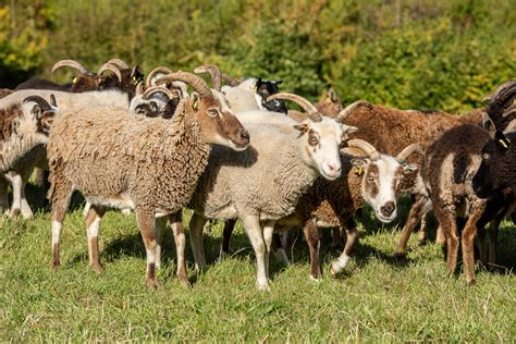 A flock of Soay Sheep   Severn Gorge Countryside Trust