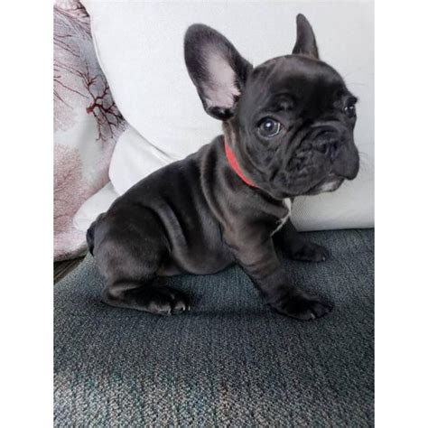 8 weeks old French Bulldog Puppies for Sale in Macon