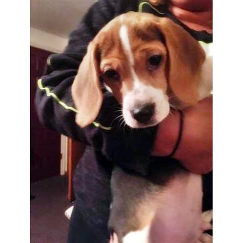 3 beagle puppies for sale in New Haven, Connecticut