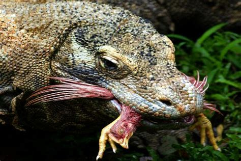 Giant lizard attack on humans | Bangkok Post: learning