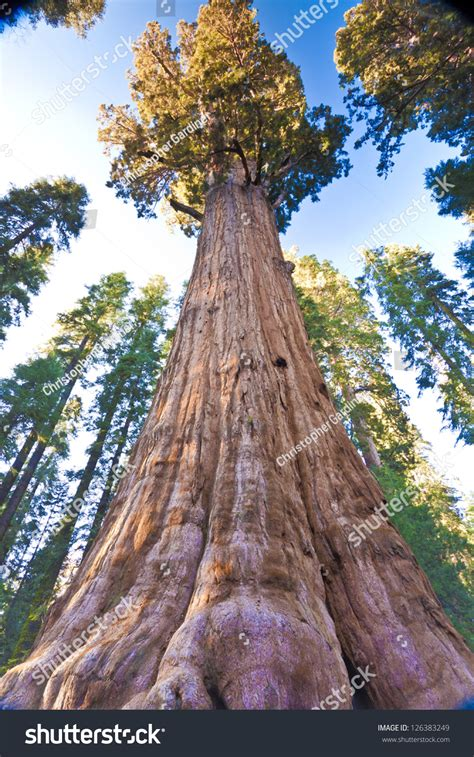 General Sherman, The Worlds Largest Tree, Found In Sequoia