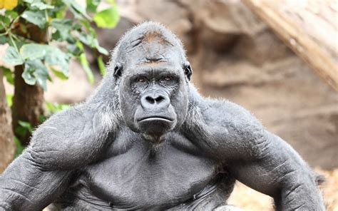 Gorilla Facts, History, Useful Information and Amazing