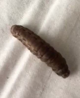 Brown Worms Appearing in Kitchen May be Black Soldier Fly